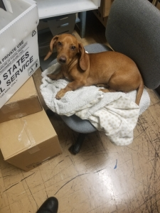 Red hair full breed Doxie Listing Image