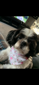 Stud wanted for 2 yr old Shih Tzu Listing Image