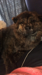 Chow chow  Listing Image