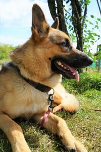 German Shepherd (pure, not registered) Listing Image