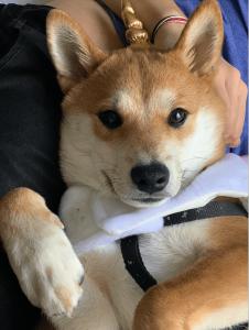 Japanese Purebred Shiba Inu Listing Image