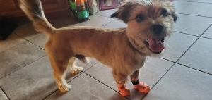 Tan Cocker Spaniels & Border Terrier Mix Listing Image