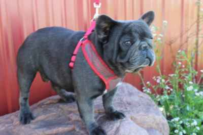AKC French Bulldog  Stud Service available Listing Image
