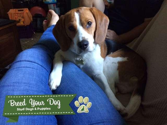 Tri-Colored Beagle Stud, Pure-bred, Champion lines, AKC Listing Image Big