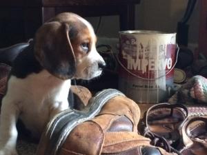 Tri-Colored Beagle Stud, Pure-bred, Champion lines, AKC Listing Image Thumbnail
