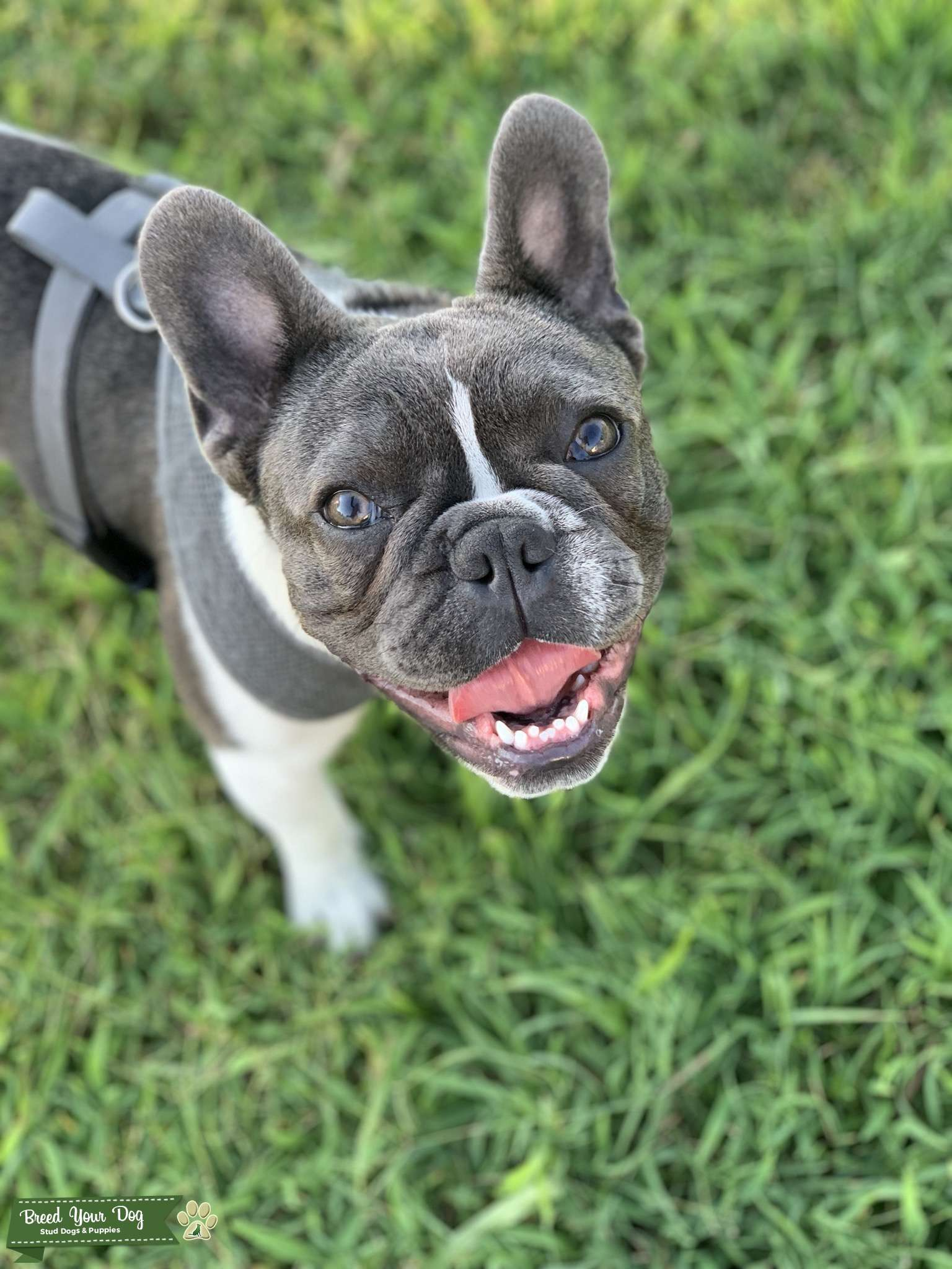 Blue and White French Bulldog Listing Image Big