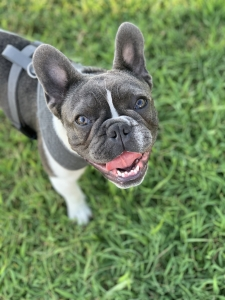 Blue and White French Bulldog Listing Image