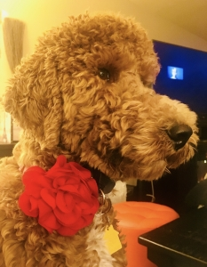 Small Red AKC Standard Poodle Female Listing Image