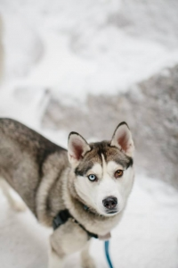 Beautiful Siberian Husky Seeks Pomeranian or Husky Stud Listing Image