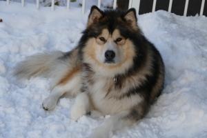 Seeking Alaskan Malamute Female Listing Image
