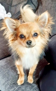 Long haired chihuahua for stud Listing Image