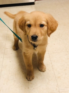 Pure Bred Golden Retriever  Listing Image Thumbnail