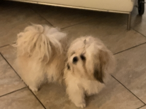 Beautiful and very friendly shih tzu male Listing Image