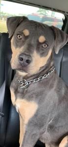 Rotty Pitt Mix Seeking Husky Female Listing Image