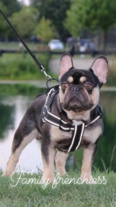 French Bulldog Stud Quad Carrier  Listing Image