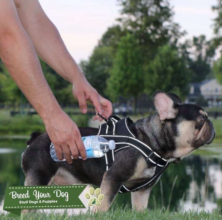 French Bulldog Stud Quad Carrier  Listing Image Big
