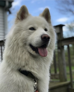 White Akita Stud Seeks Akita or Husky Female Listing Image