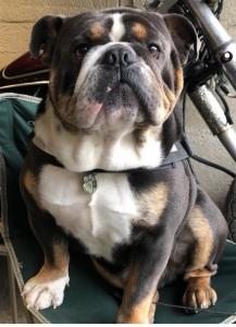British bulldog for Stud.  Listing Image