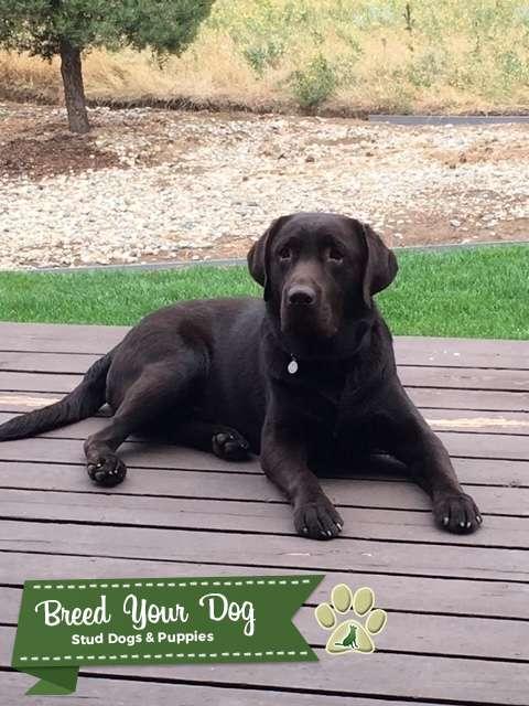 Chocolate English Labrador Retriever Listing Image Big