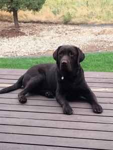 Chocolate English Labrador Retriever Listing Image