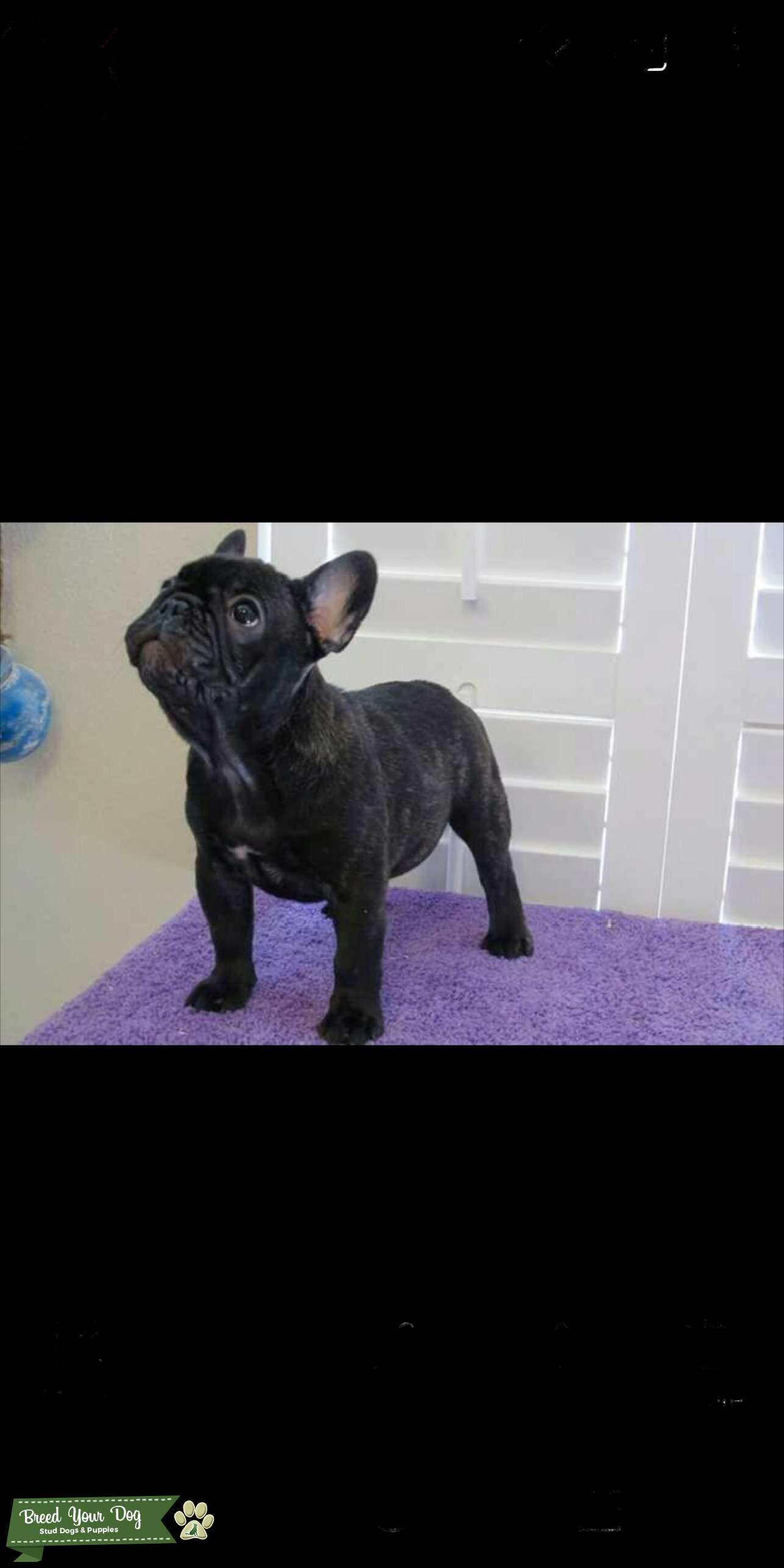 Blue French bulldog stud  Listing Image Big