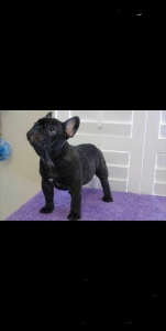 Blue French bulldog stud  Listing Image Thumbnail