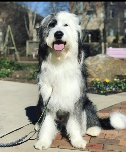 Harry the Sheepadoodle Listing Image