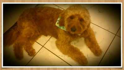 RED F1 MINI GOLDENDOODLE FOR STUD Listing Image