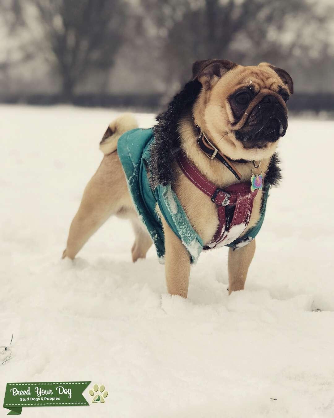 Pedigree Pug for Stud Listing Image Big