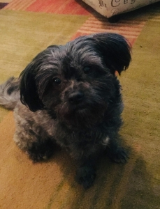 All Gray Toy Size Shih Tzu Looking to mate Listing Image