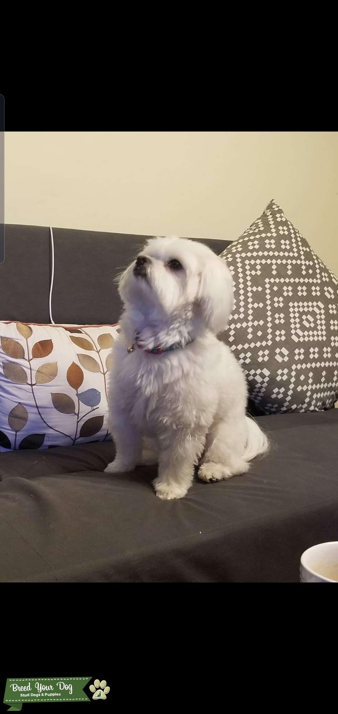 Maltese poodle Listing Image Big