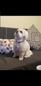 Maltese poodle Listing Image