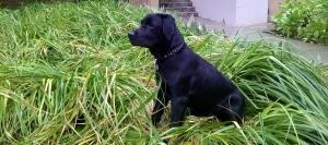 Black Labrador Listing Image