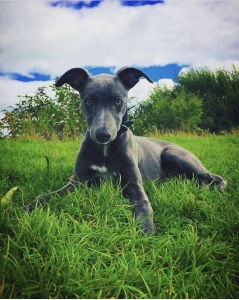 Whippet Listing Image