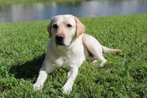 Yellow Labrador Retriever  Listing Image