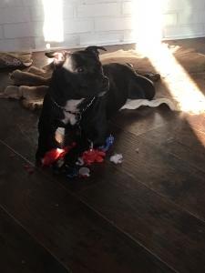 Agility Champ / protection dog/ dock diver for stud  Listing Image