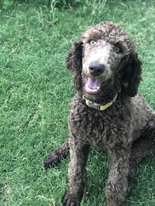 Standard Poodle looking for male doodles and poodles. Listing Image