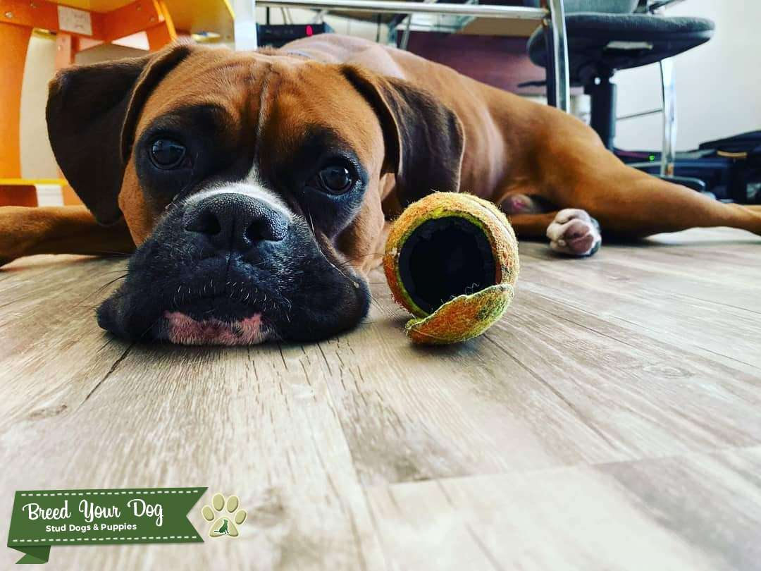 Beautiful & Energetic Pure Fawn Boxer Listing Image Big