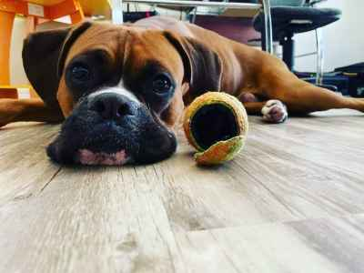 Beautiful & Energetic Pure Fawn Boxer Listing Image