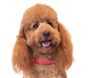Fabulous, Proven, Red Mini Poodle Stud. Extensive Health Tests. £200. Listing Image