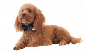 Gorgeous, Proven, Red Toy Poodle Stud, Extensive Health Tests. £200 Listing Image