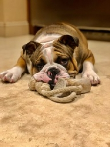 AKC English Bulldog Stud Listing Image