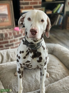 Perfectly Spotted Liver Dalmatian Listing Image