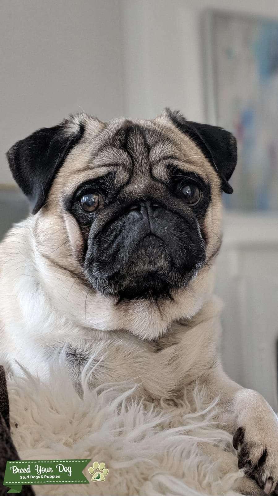 Pug Dog  Listing Image Big