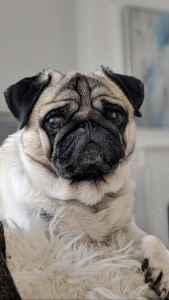 Pug Dog  Listing Image