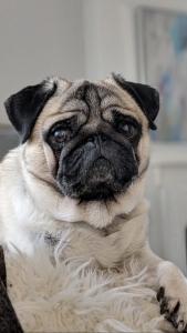 Pug Dog  Listing Image Thumbnail