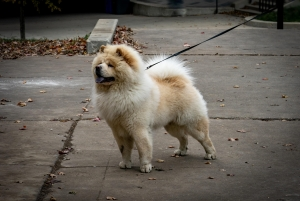Well Behaved Chow Chow Listing Image