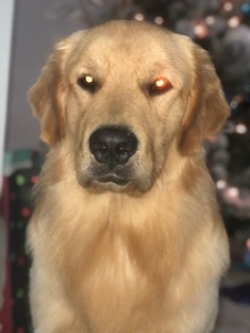 Pure Bred Golden Retriever Listing Image