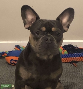 Frenchie AKC Stud Services Available Listing Image