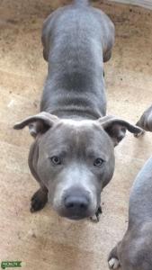 Blue Staffordshire Bull Terrier Listing Image Thumbnail